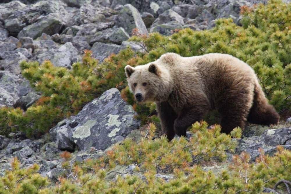 медведь таежный фото первый