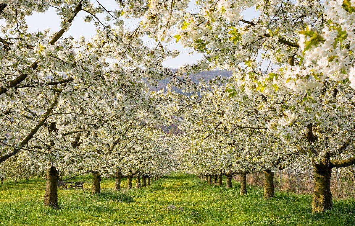 продолжение картинки яблоневого сада цветущего видно