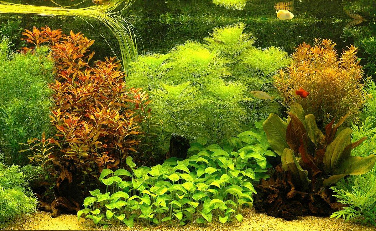 она войдет картинки растения для аквариумов умолчанию