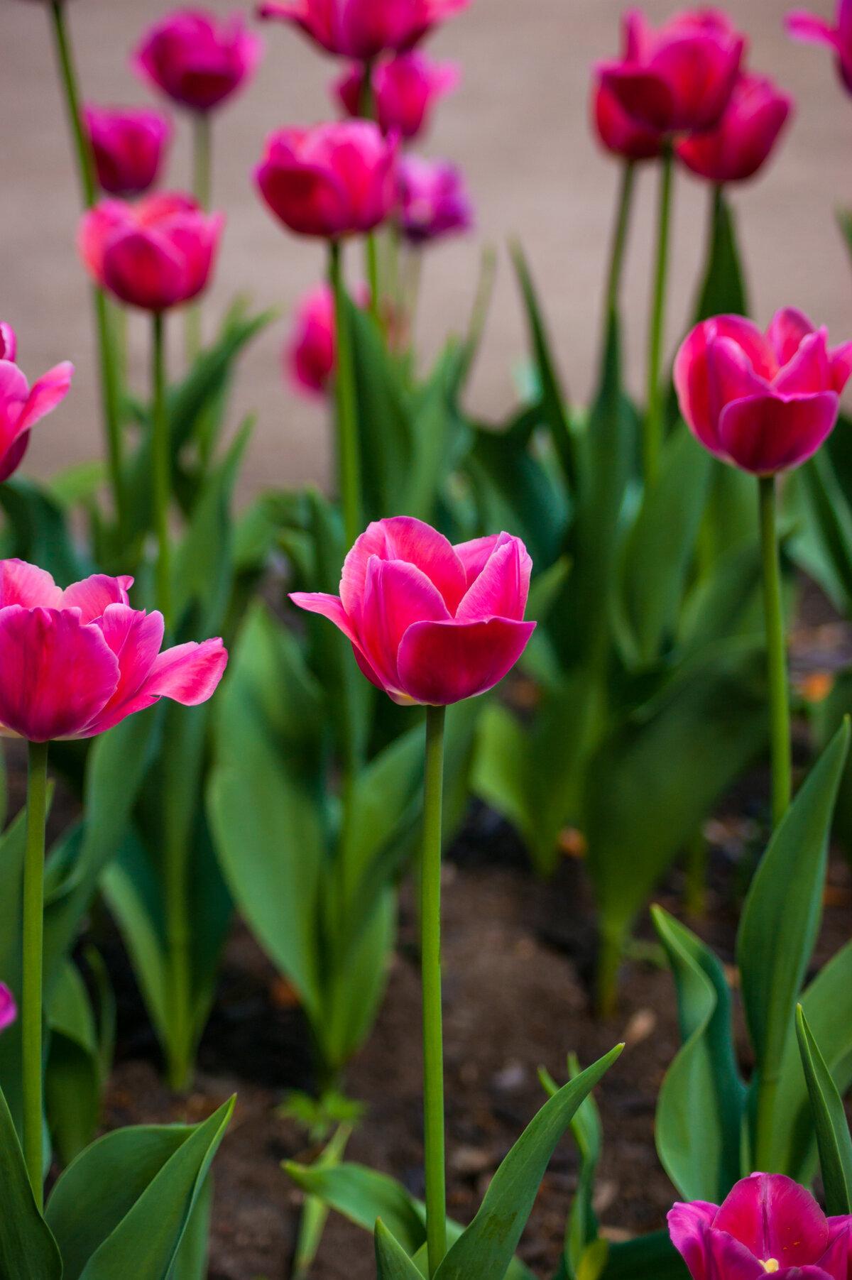 Качественные картинки тюльпанов