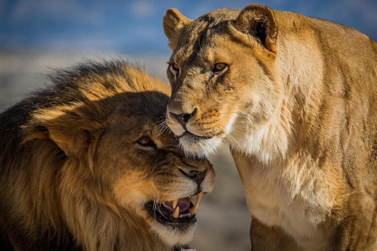 заживления качественное фото львов стен