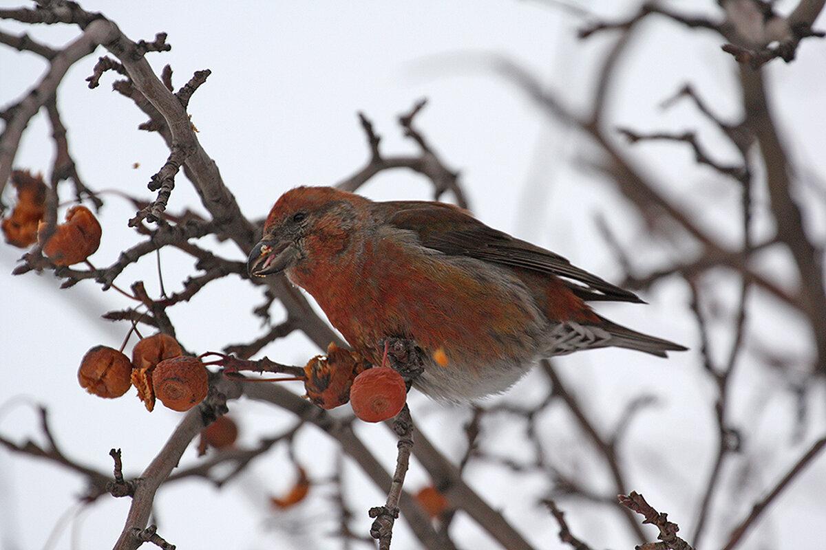 Клест фото птицы зимой картинка всем