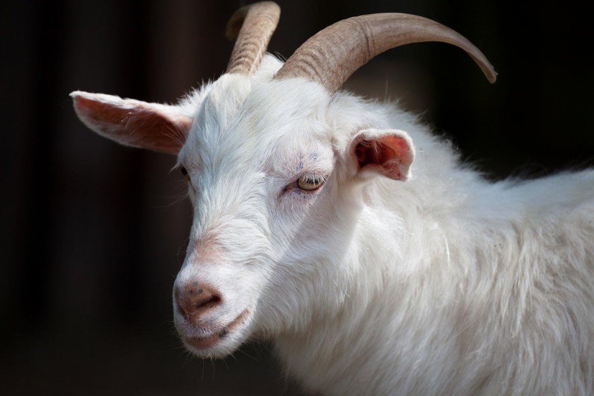 Картинки козы
