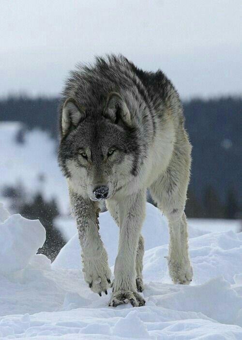 Картинки кавказа с волками