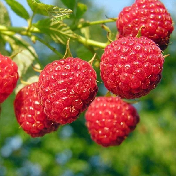 ягоды: 23 тыс изображений найдено в Яндекс.Картинках
