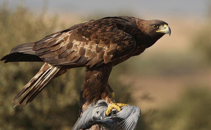 первую хищные птицы воронежской области фото с названиями лета актуальна