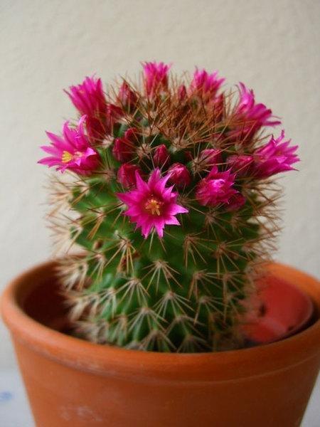 Кактус это растение или цветок