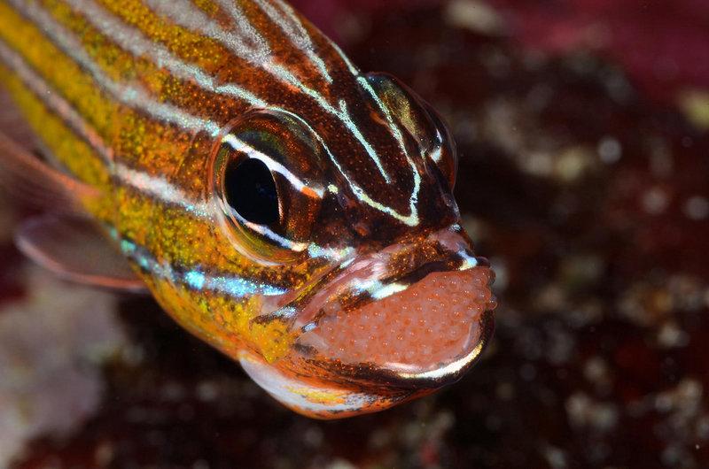 Фото: H-Shige. Рыбка с икрой