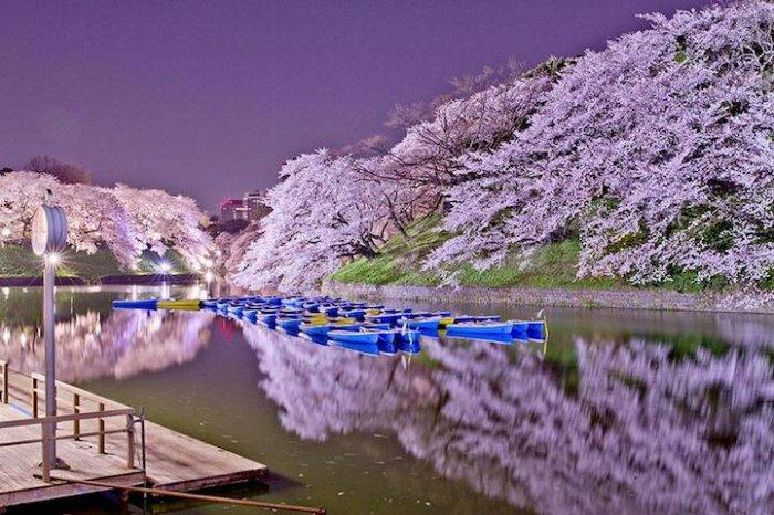 Япония, весна, сакура