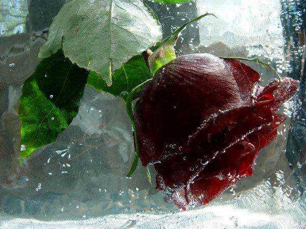 Как сделать ледяную розу