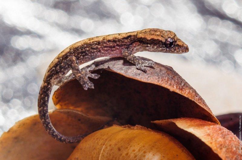 Крошка геккон правым боком