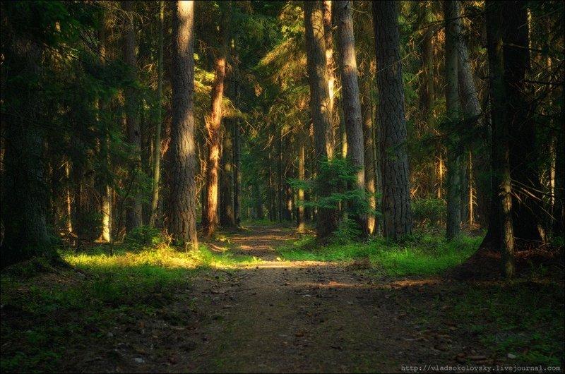 Леса Беловежской пущи