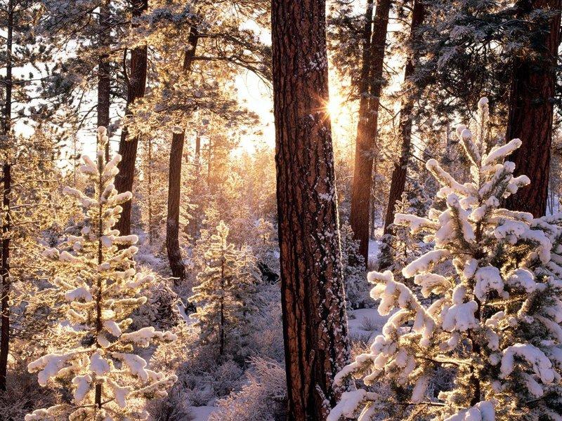 Обои Хвойный лес зимой, скачать картинки лес, хвойный, ель, сосна, снег на рабочий стол бесплатно, раздел природа - скачать фото