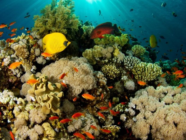 Обои Живые кораллы и обитатели рифа, фото, картинки