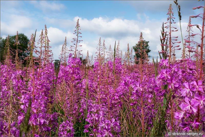 Полевые цветы: летний поход по холмам Подмосковья