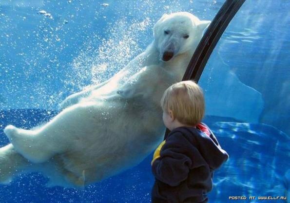 Полярные или белые медведи (20 фото)