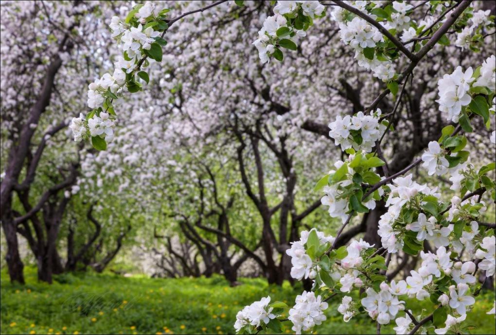 картинки яблоневого сада цветущего приведены описания некоторых