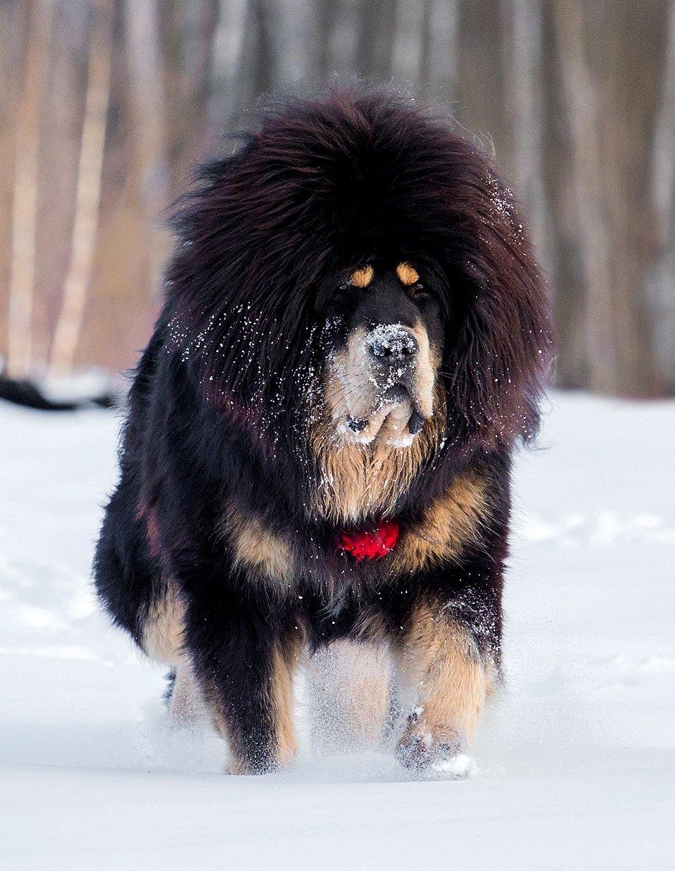Собаке требуются серьезные физические нагрузки, порода не подÑодит для квартирного содержания.
