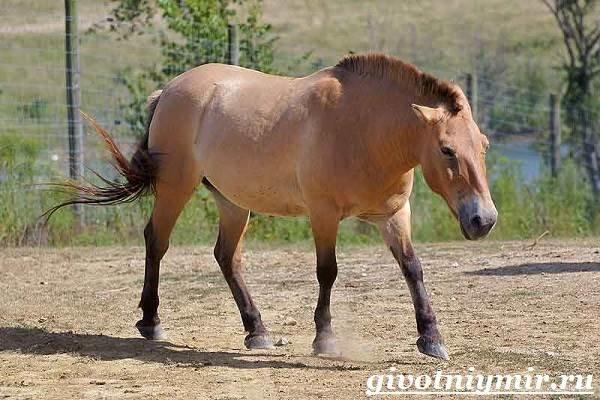 Особенности и среда обитания лошади Пржевальского  Считается, что лошадь Пржевальского – это один из видов лошадей, которая пережила ледниковый период. Особи данноговида выделяется среди ост…