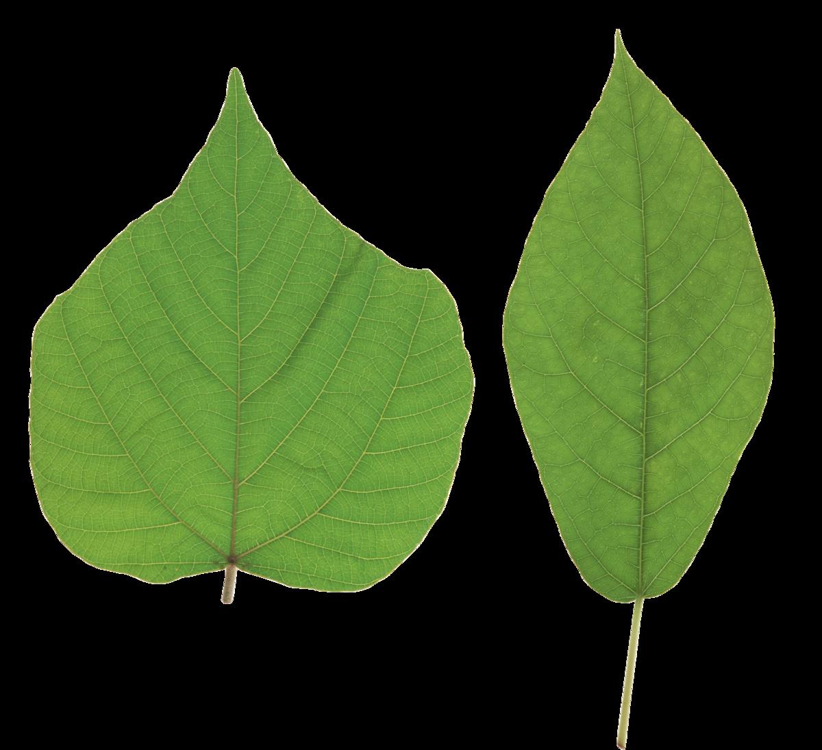 новичков листья широкие рисунок монро символ