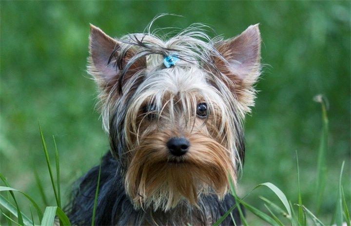 Собаки, - Йоркширский терьер (Йорк)