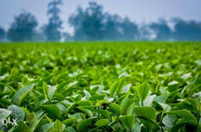 """Вьетнамский зеленый чай """"Thai Nguyen"""" 500 gr. Киев - изображение 4"""