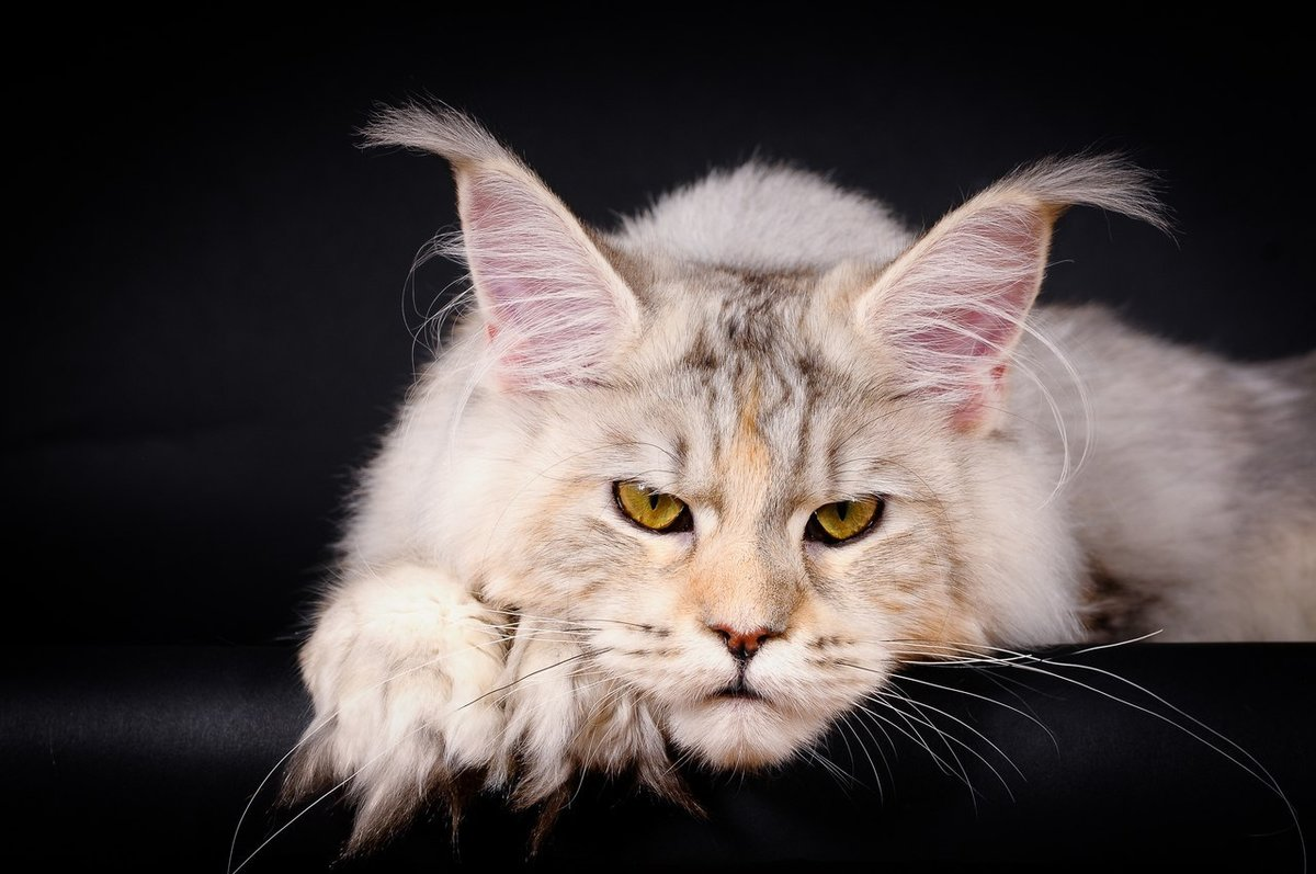 В классическом описании породы кошек мейн-кун не всегда упоминается тот факт, что иногда они принципиально игнорируют Ð½Ð¾Ð²Ñ‹Ñ Ð»ÑŽÐ´ÐµÐ¹: например, Ð²Ð°ÑˆÐ¸Ñ Ð³Ð¾ÑÑ'ей.