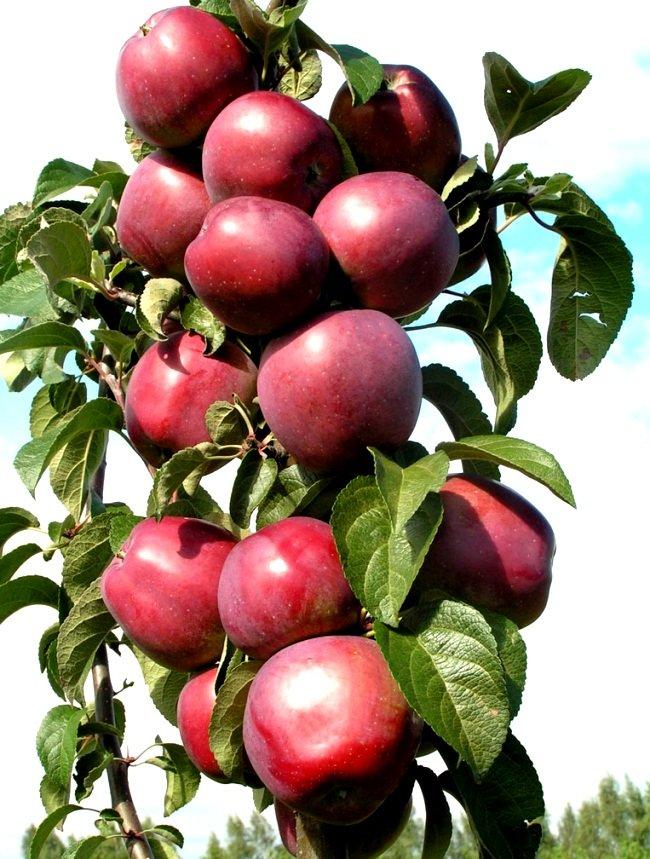 Из нашей предыдущей статьи Вы могли узнать о том, что собой представляет колоновидная яблоня, как выращивать колоновидную яблоню и как ухаживать за колоновидной