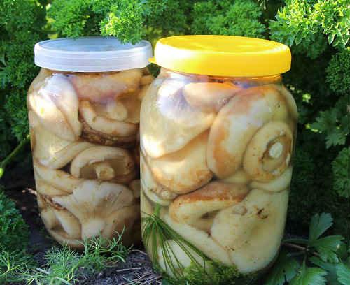 рецепт соленых груздей холодным способом с фото