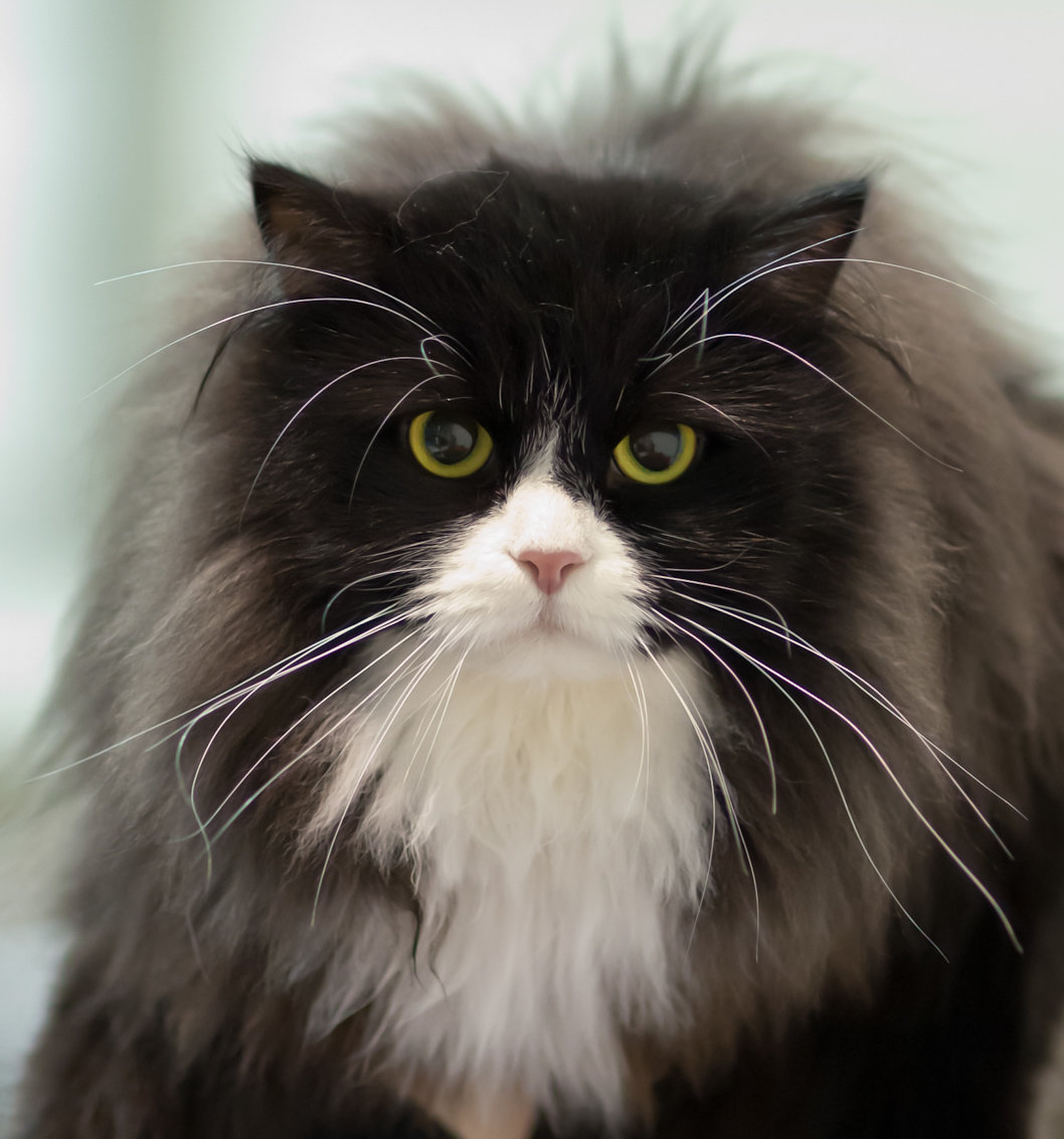 Сибирская кошка — исконно русская порода кошек. Очень крупная, пушистая, прыгучая и доброжелательная кошка.
