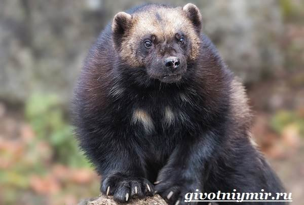 Росомаха – животное, которое люди наделили мифическими свойствами и сложили о нем много легенд. Североамериканские индейцы и «лесные люди»приенисейской тайги считают этого зверя священным, проявля…