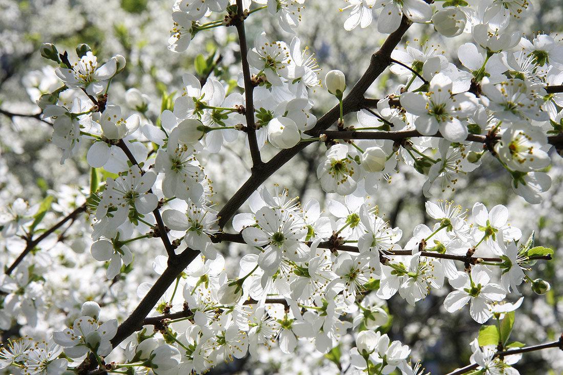 Открытки вишня цветет, открытками почтой открытки