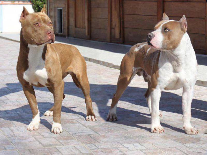 the history of the american pitbull The history of the american pit bull terrier is controversial and even when dog men agree on certain aspects of this history they never agree on all.