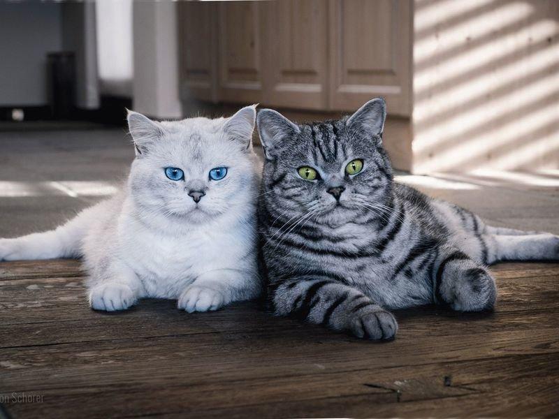 тогда магические способности британских кошек спортивному термобелью