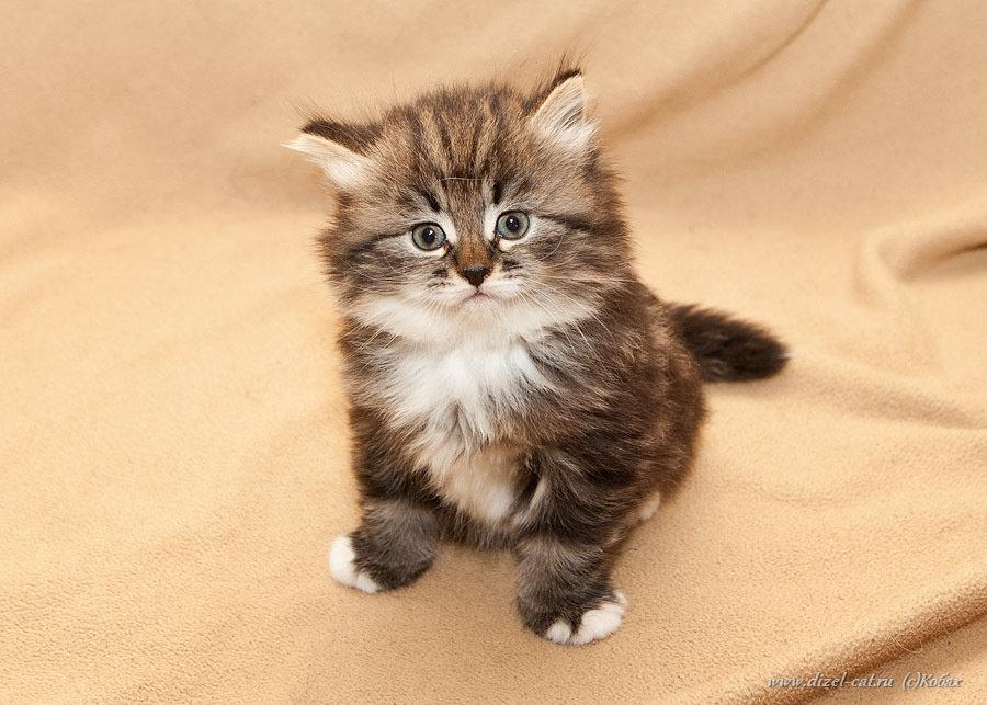 каркасных котята сибирской кошки фото любители колючих
