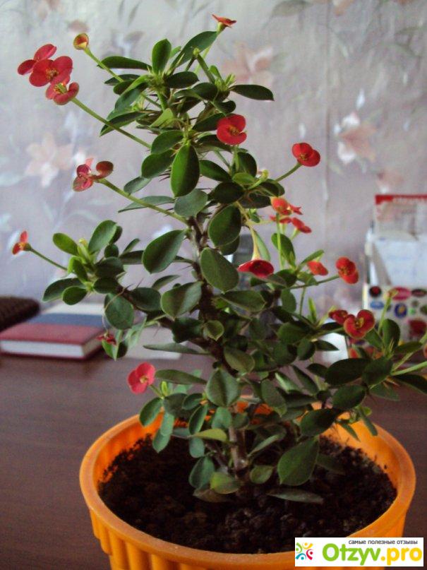 Молочай Миля - Комнатные растения и цветы 6