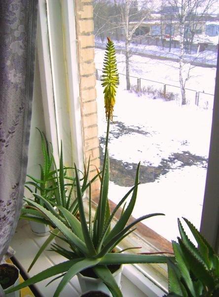 Как цветет алоэ, 12 фото - ПроЦветы