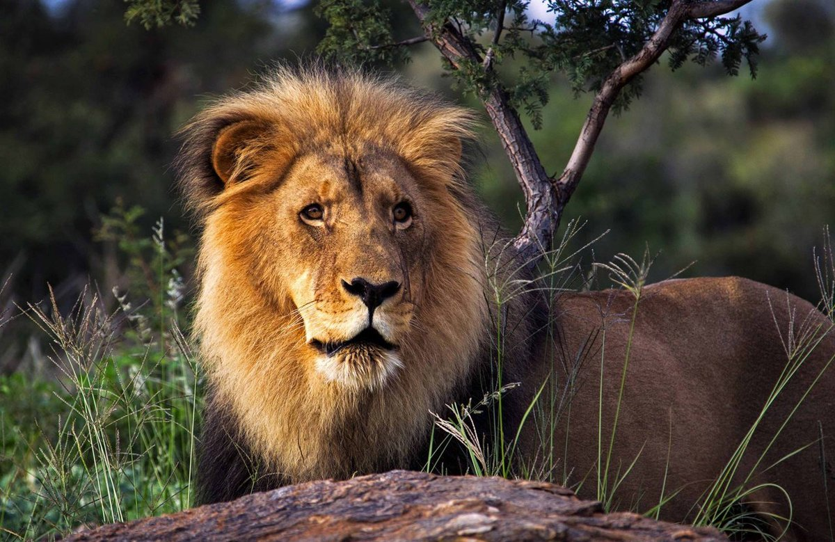 описание, маловероятно, африканские львы фото три года, это