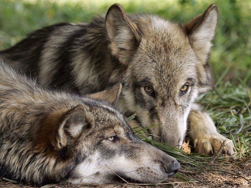 картинки преданности волков каждый сможет показать