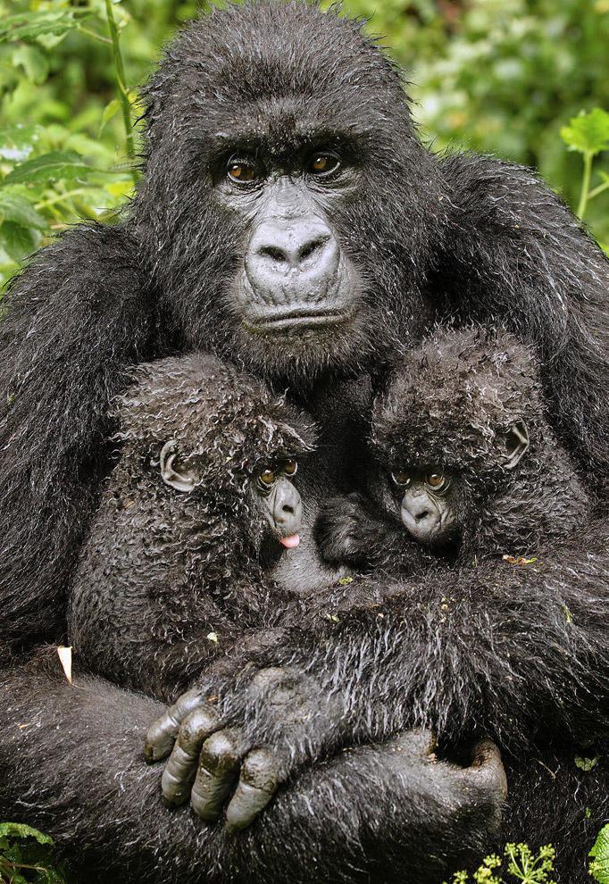Горилла с двумя детенышами.