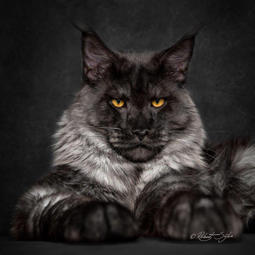 Порода кошек мейн кун отличается завидным миролюбием. Им никогда не придет в голову смаÑнуть могучей лапой вазу с тюльпанами со стола.