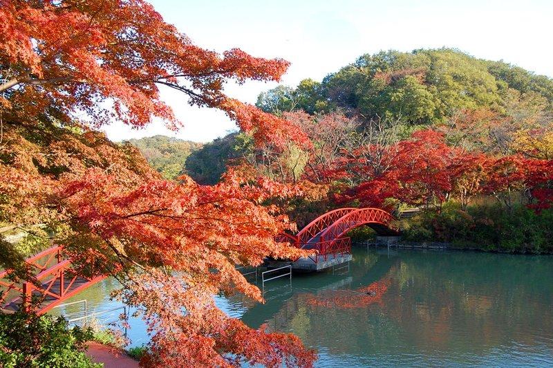Момидзи, или Сезон красных кленовых листьев, – очень красивое время года. В Йокогаме составили Топ-10 самых красивых мест.