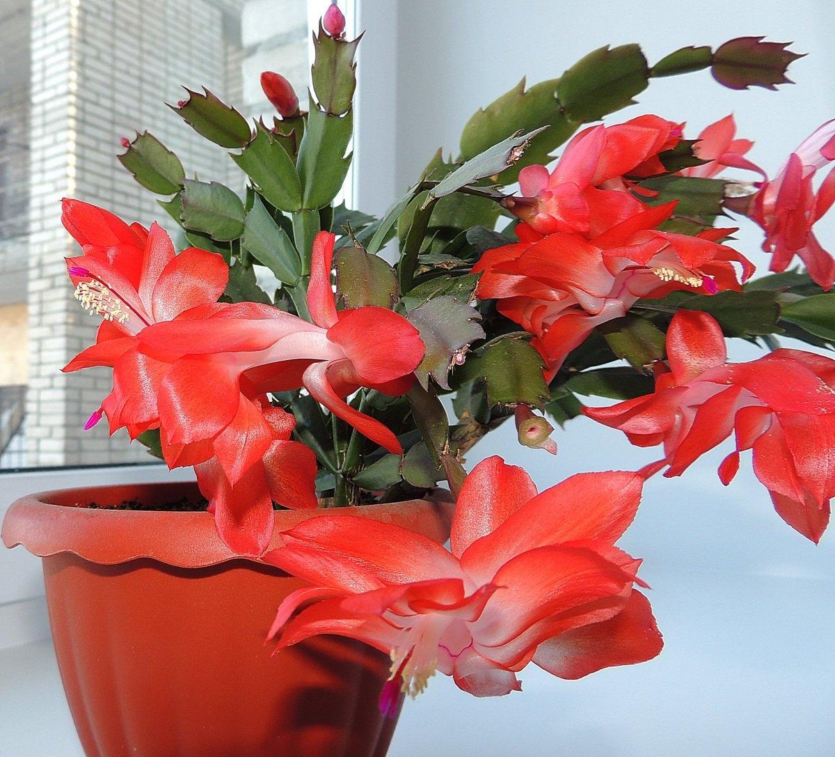 Комнатные цветы фото названия и уход амариллис кудрявой копны