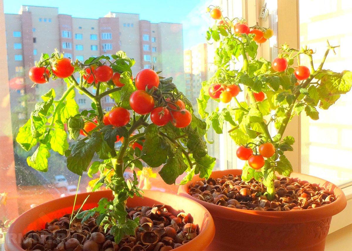 Помидоры на балконе выращивание пошагово - село инфо.