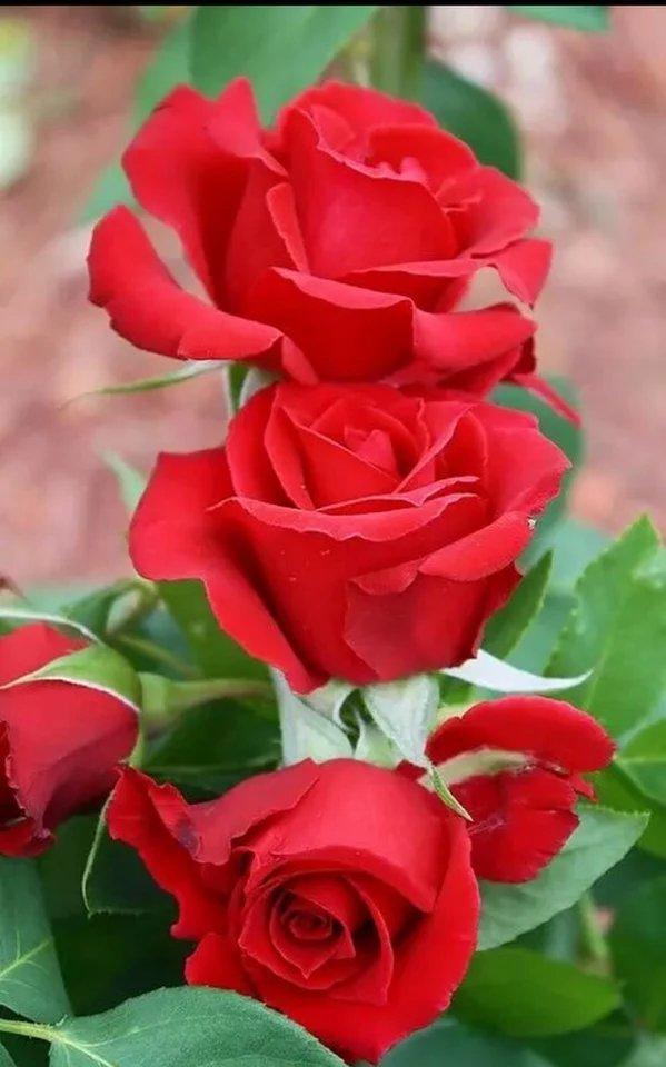 Алые розы.