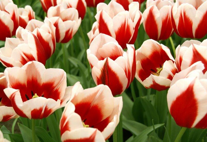 Парк цветов Кёкенхоф является великолепной весенней выставкой голландских цветов и растений. На территории 32 гектара расположены 15 км. пешеходных дорожек, проходя по которым, вы сможете увидеть более 7 миллионов цветов.