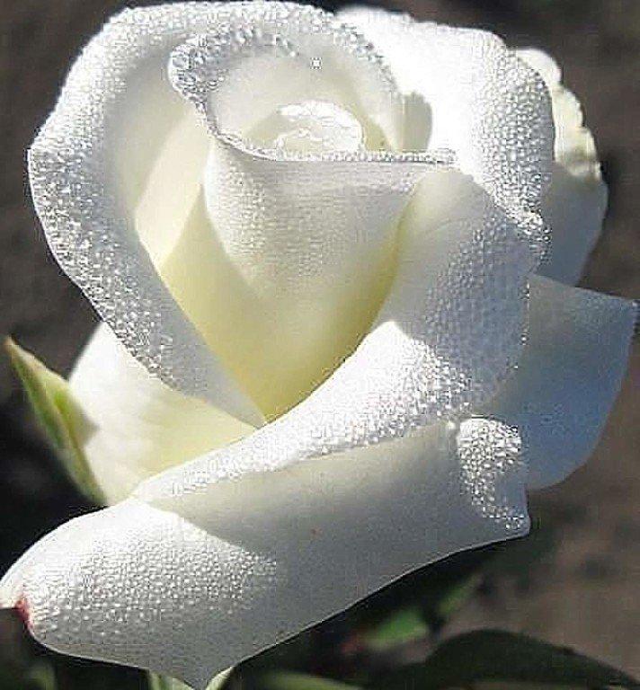 Надписью, белые розы картинки с надписью доброе утро