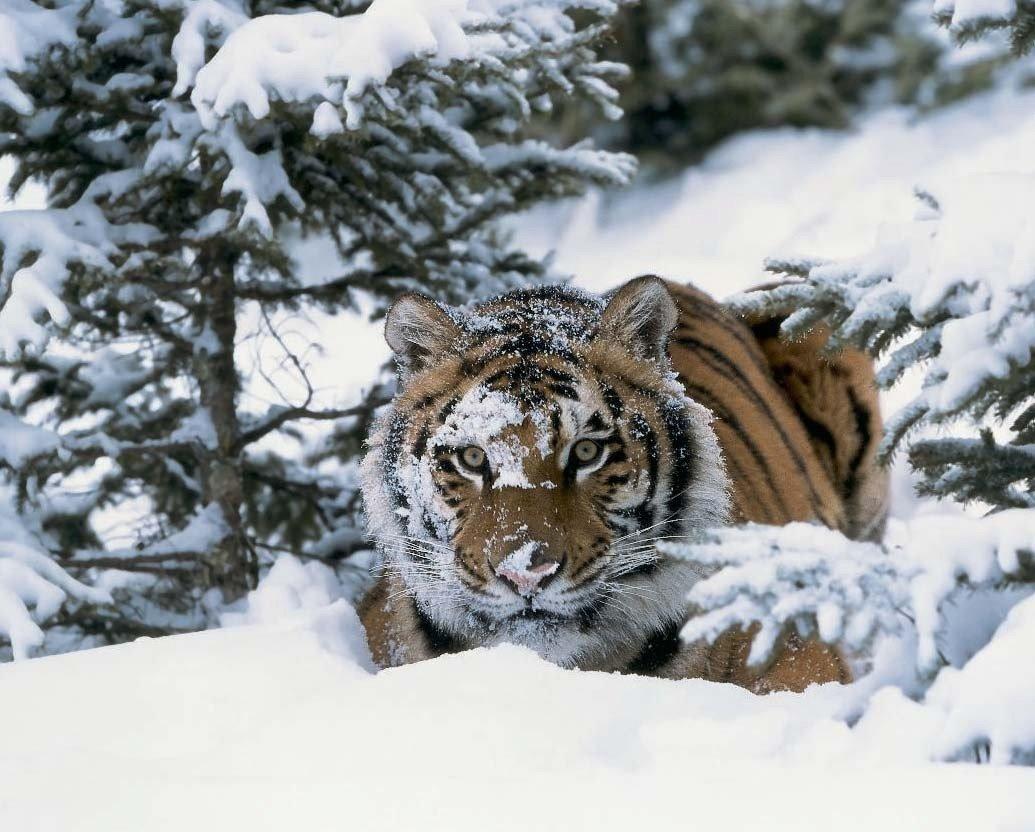 картинка тигр и снег время некоторых диалогов