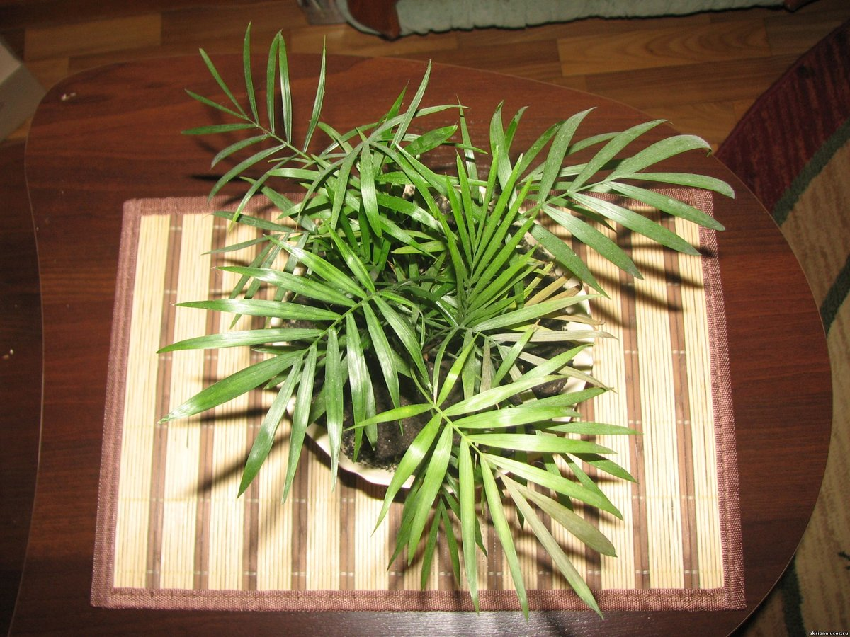 Цветы пальма фото болезни 6