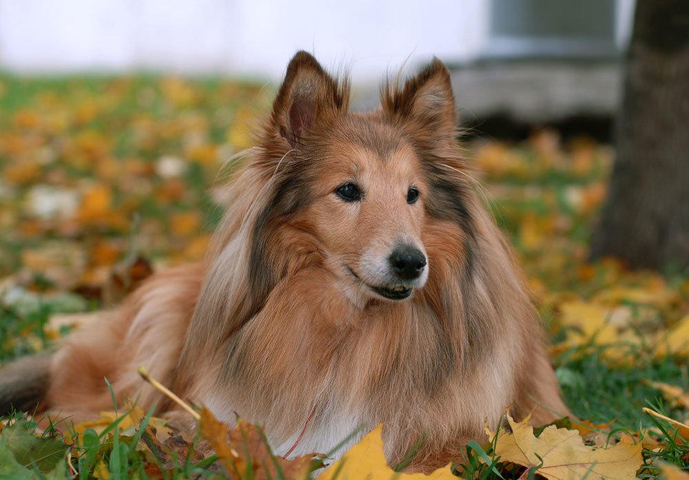 Колли картинки собаки
